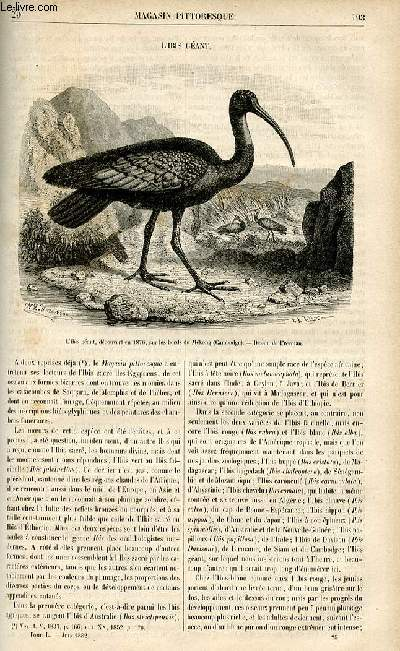 LE MAGASIN PITTORESQUE - Livraison n°25 - L'ibis géant.