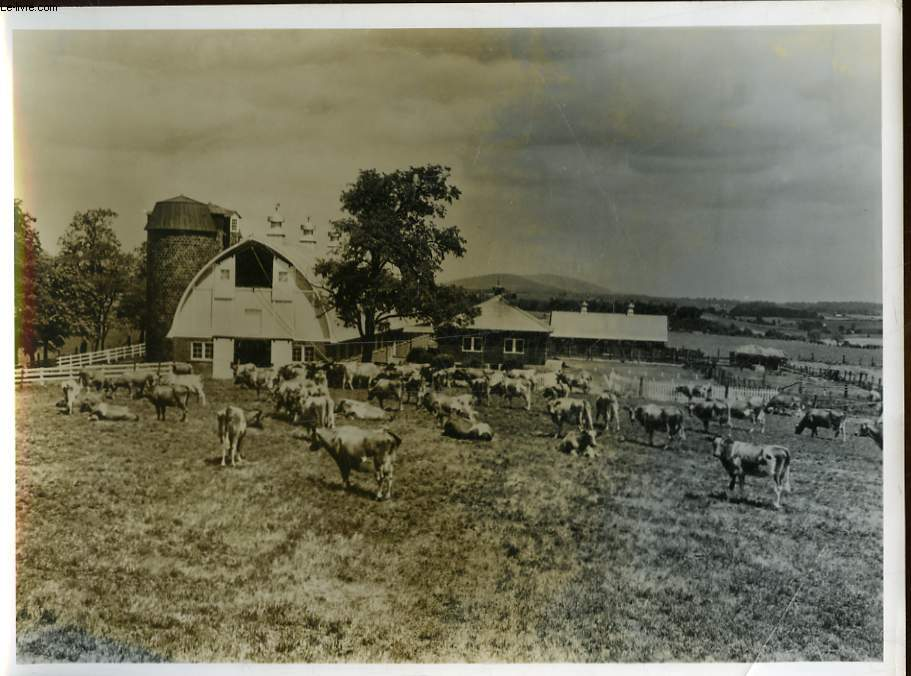 1 PHOTO ANCIENNE SITUEE - VACHES AMERICAINES