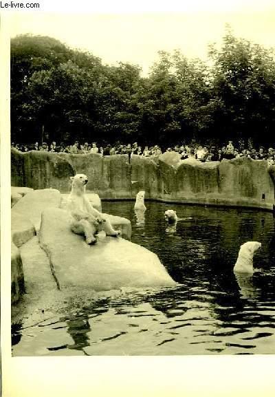 Lot de 2 photographies originales, en noir et blanc, de l'enclos des ours polaires blancs et d'une girafe en train de manger, prises dans un zoo.