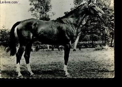 Carte postale, en noir et blanc, d'un cheval Anglo-Arabe. Oblitéré