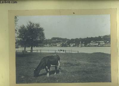 Une photographie originale, d'une vache broutant dans un pré du Lot-et-Garonne, au bord de la Garonne.