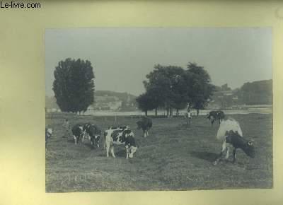 Une photographie originale,  d'un troupeau de vaches et de 2 vachers du Lot-et-Garonne.